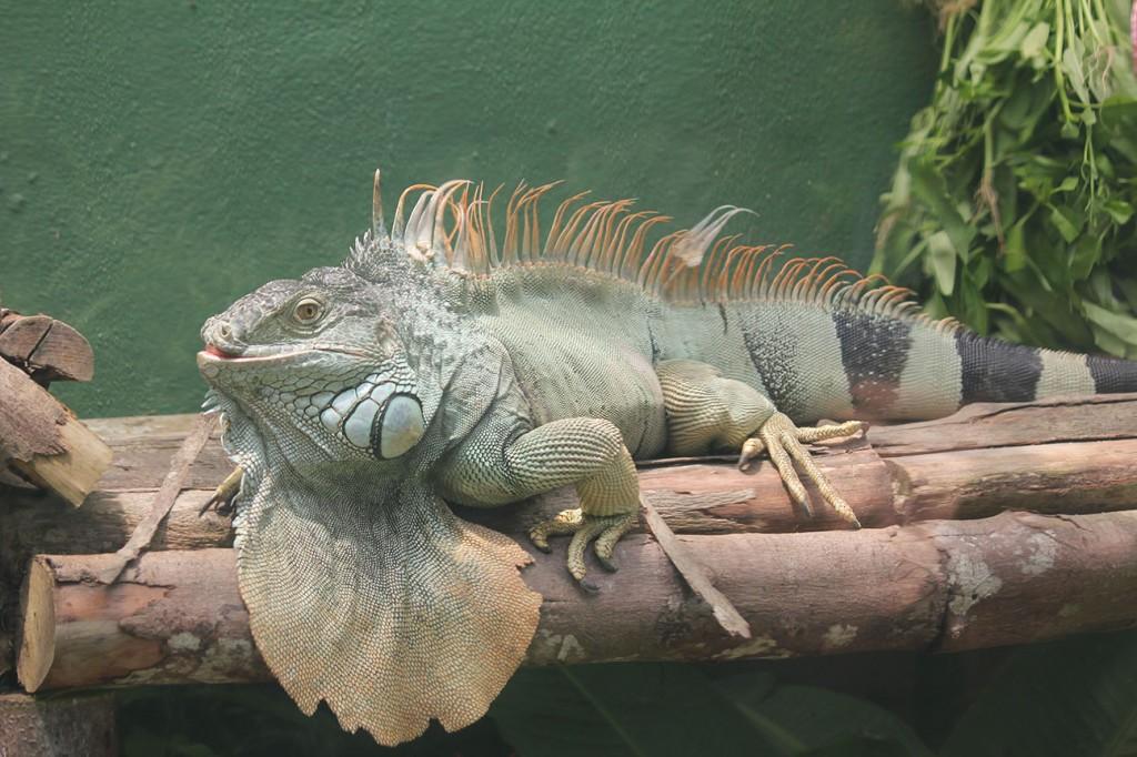 Iguana!!!
